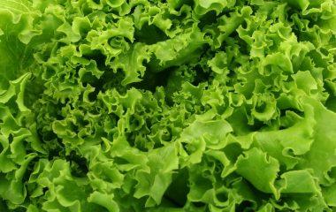 lettuce-1239155
