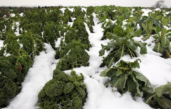 frozen crops